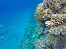 Czerwone Denne ryba na rafie koralowa podwodny obrazy stock