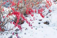 Czerwone dojrzałe jagody zamknięte up na Bush Bérberis marznęli w zimie Fotografia Stock