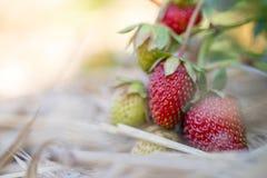 Czerwone dojrzałe organicznie truskawki na rolnictwa polu zdjęcia stock