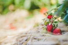 Czerwone dojrzałe organicznie truskawki na rolnictwa polu zdjęcia royalty free
