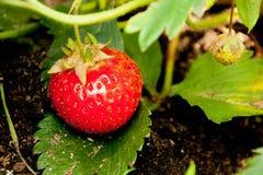 Czerwone dojrzałe truskawki w ogródzie Zdjęcia Stock