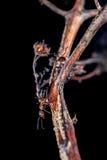 Czerwone drewniane mrówki Zdjęcia Royalty Free