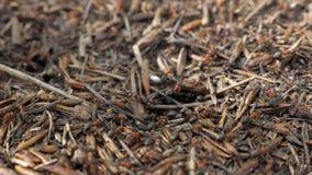 Czerwone drewniane mrówki poruszające na gniazdowym Anthill z czerwonymi drewnianymi mrówkami w wiośnie zbiory wideo