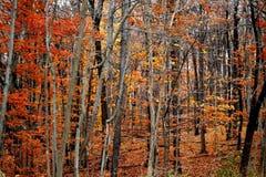 czerwone drzewa Obrazy Royalty Free