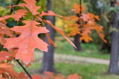 czerwone drzewo liści jesienią Zdjęcie Stock