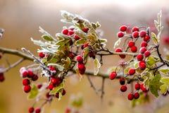 Czerwone głogowe jagody na mroźnym ranku w Listopadzie obrazy royalty free