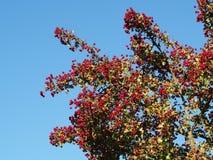 Czerwone głogowe jagody w jesieni z niebieskim niebem zdjęcie royalty free