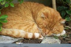 czerwone gatto kota gruby rosso Fotografia Royalty Free
