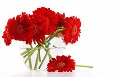 Czerwone gerber stokrotki w wazie Fotografia Royalty Free