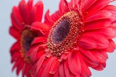 Czerwone gerbera stokrotki Zdjęcie Royalty Free