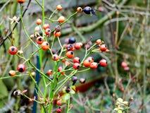 Czerwone i czarne jagody na drzewie obrazy stock