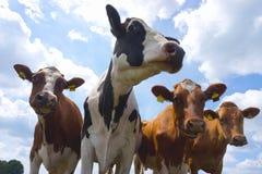 Czerwone i piebald nabiału krowy Obrazy Stock