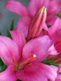 Czerwone i purpurowe leluje Zdjęcia Stock