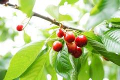Czerwone i słodkie wiśnie na gałąź tuż przed żniwem w wczesnym lecie zdjęcia stock