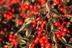 czerwone jagody Zdjęcia Royalty Free