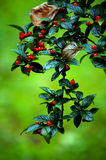 czerwone jagody Fotografia Royalty Free