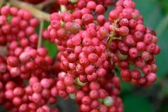 czerwone jagody Zdjęcie Stock