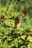 czerwone jagody Obrazy Royalty Free