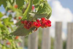czerwone jagody Fotografia Stock