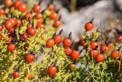 czerwone jagody Zdjęcie Royalty Free