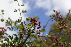 Czerwone jagody 1 Obraz Royalty Free