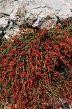 czerwone jagody Obraz Stock