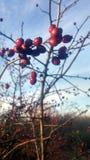 czerwone jagody Zdjęcia Stock