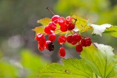 Czerwone jagody gubją swój świeżość obraz stock