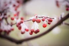 Czerwone jagody i piękny bielu mróz fotografia stock