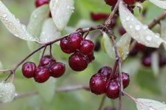 Czerwone jagody, lonicera xylosteum Obraz Stock