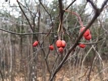 Czerwone jagody na gałąź, zakończenie las jesieni Obrazy Stock