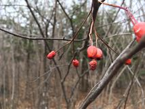 Czerwone jagody na gałąź, zakończenie las jesieni Zdjęcia Stock