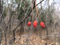 Czerwone jagody na gałąź, zakończenie las jesieni Fotografia Stock