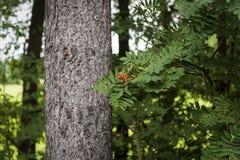 Czerwone jagody na krzaki blisko wielkiego drzewa Obrazy Stock