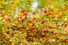 Czerwone jagody na krzaku w jesieni Obraz Stock