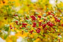 Czerwone jagody na krzaku w jesieni Zdjęcia Royalty Free