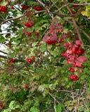 Czerwone jagody na krzaku z zieleni ziemi czerwienią opuszczają Fotografia Stock