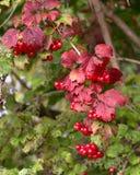 Czerwone jagody na krzaku z zieleni ziemi czerwienią opuszczają Zdjęcia Royalty Free