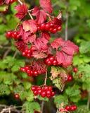 Czerwone jagody na krzaku z zieleni ziemi czerwienią opuszczają Zdjęcia Stock