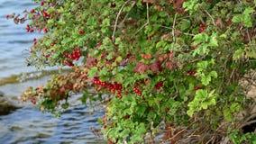 Czerwone jagody na krzaku z zieleni ziemi czerwienią opuszczają Obrazy Royalty Free