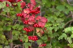 Czerwone jagody na krzaku z zieleni ziemi czerwienią opuszczają Zdjęcie Royalty Free