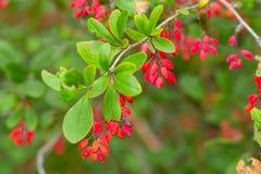 Czerwone jagody na rozgałęziają się zamknięty up Fotografia Royalty Free