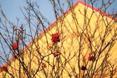 Czerwone jagody opuszczać na krzaku Zdjęcia Royalty Free