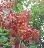 Czerwone jagody po środku lata Fotografia Stock