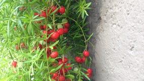 Czerwone jagody przeciw betonowi Zdjęcia Royalty Free