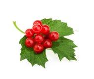 Czerwone jagody Viburnum & x28; strzałkowaty wood& x29; , odizolowywający na bielu obraz stock