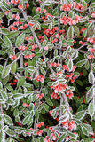 Czerwone jagody w hoar mrozie obrazy royalty free