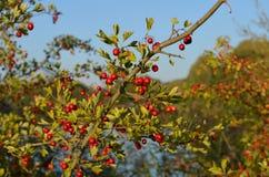 Czerwone jagody w jesieni romantycznej atmosferze fotografia stock