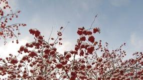 Czerwone jagody w śniegu przeciw niebieskiemu niebu Obrazy Stock