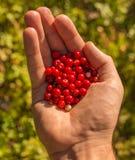 Czerwone jagody w ręce zdjęcie stock